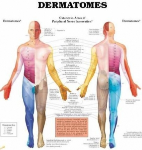 Dermatomes Hard Laminated Chart - Click for more info