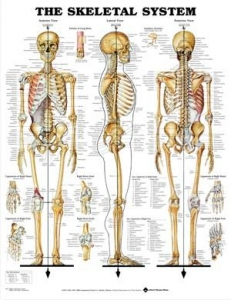 Skeletal System Rigid Laminated Chart