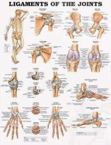 Ligaments Of The Joints Hard Laminated Chart - Click for more info