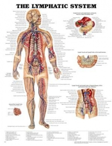 The Lymphatic System Laminated Chart - Click for more info