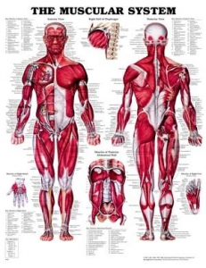 The Muscular System Rigid Laminated Chart - Click for more info